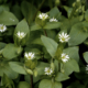Vogelmuur - Stellaria media - Eetbare bloemetjes