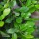 Kaffir Lime / Makrut Lime / Wilde Limoen - Citrus hystrix - Tuinkruiden