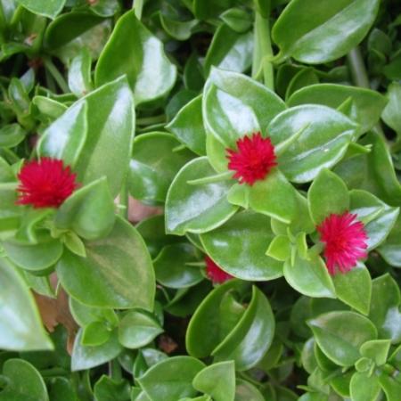 Heart-leaf Iceplant groenbladig - Aptenia cordifolia - Tuinkruiden