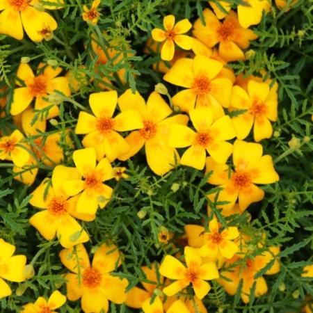 Citrus-afrikaantjes Orange - Tagetes tenuifolia - Eetbare Bloemetjes