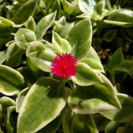 Heart-leaf Iceplant (Bontbladig) - Aptenia cordifolia 'variegata' - Eetbare bloemetjes