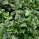 Nieuw-Zeelandse Spinazie - Tetragonia tetragonoides - Tuinkruiden